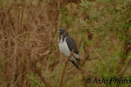 Augur Buzzard in Ngorongoro Crater