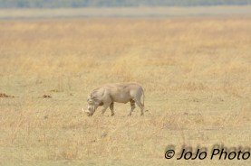 Warthog in Ngorongoro Crater