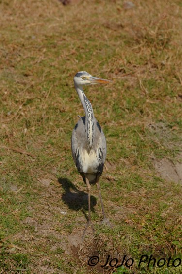 Grey Heron in Ngorongoro Crater