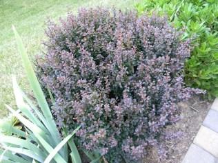 Berberis thunbergii 'Royal Purple'