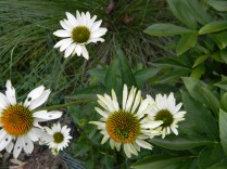 Coneflower White Swan