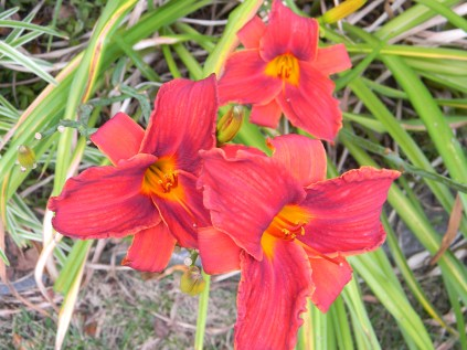 Daylily Early Red