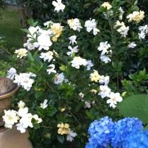 Gardinia jasminoides 'Jubilation'