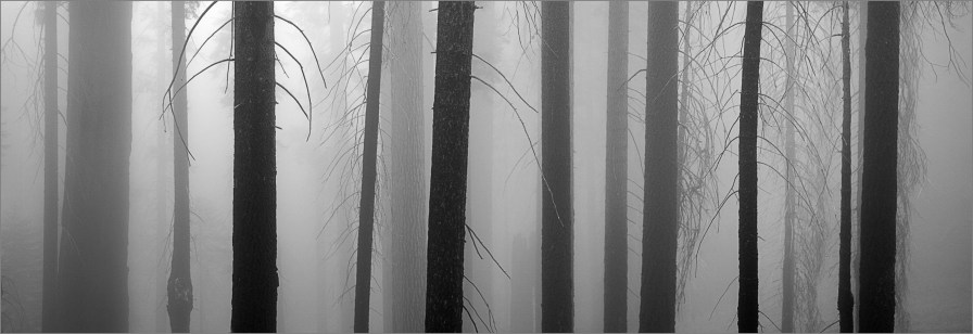 Mist Giant Forest