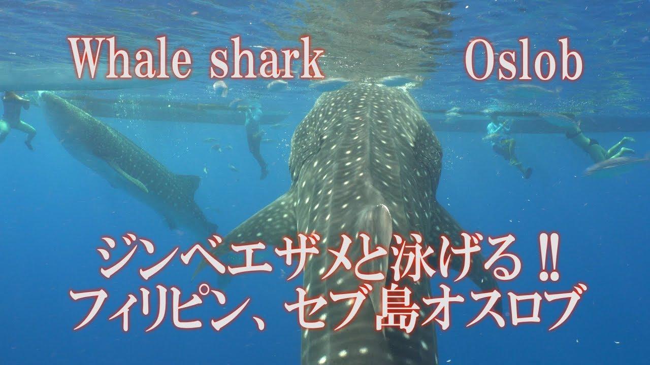 楽しい!ジンベエザメと泳げる セブ島オスロブ Whale shark ジンベエスイム Oslob #トラベル #旅行 #followme