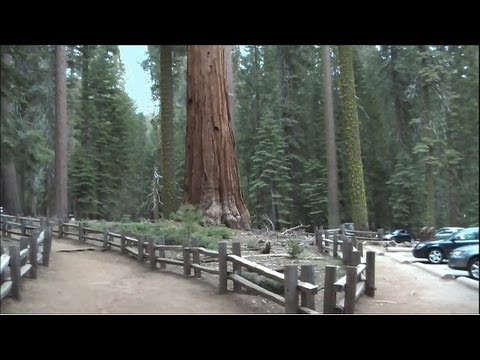 マリポサグローブ散策 ヨセミテ国立公園[HD]Mariposa Grove #ヨセミテ国立公園 観光 #Yosemite #followme