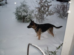 K-10 German Shepherd Alert by Doorstep in Snow at Ovid - October 10, 2009