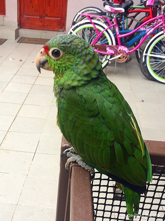 The resident parrot