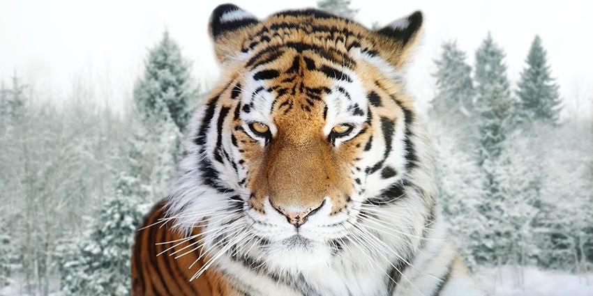 Величественный сибирский тигр