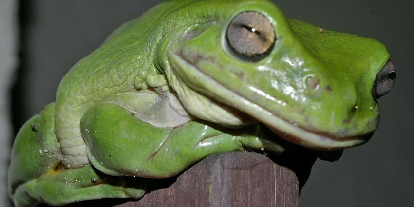 Австралийская древесная лягушка