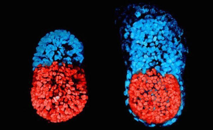 Выведен первый синтетический эмбрион из стволовой клетки
