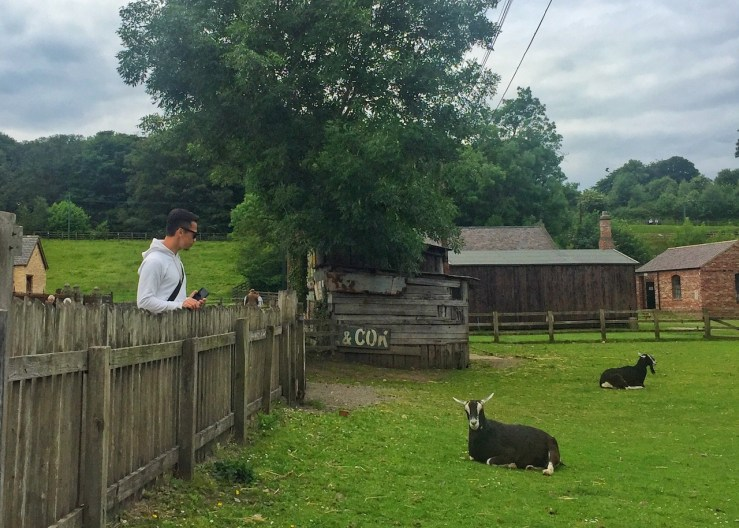 Beamish museum: farm-raised sheep