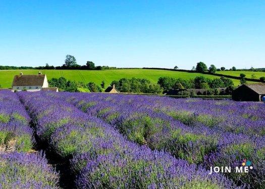 科茲窩 Cotswolds:薰衣草園 Cotswold Lavender
