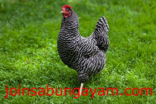 Ayam Plymouth Rock