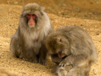 Your guide to the Iwatayama Monkey Park in Kyoto, Japan