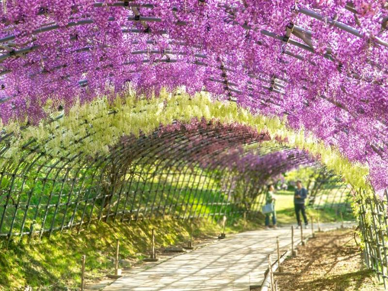 Enjoy A Walk Through The Wisteria Tunnels In Japan Join The Kellys