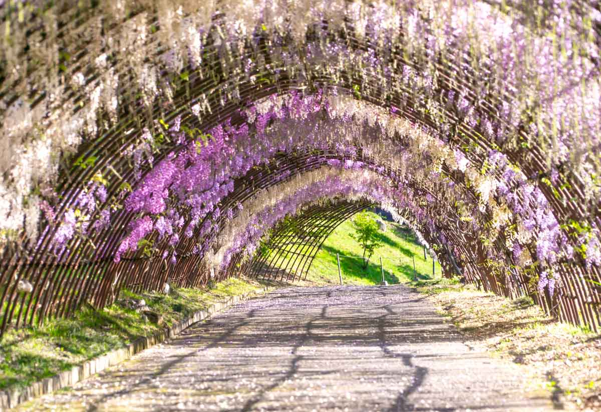 Wisteria Tunnels view
