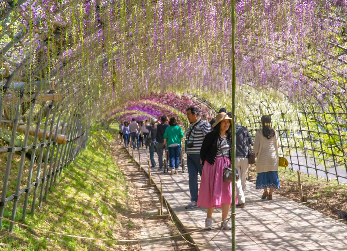 crowded Wisteria tunnels