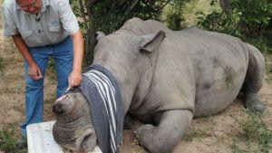 150405173425_rinocerente_operacion_624x351_bbc_nocredit