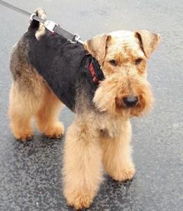 Welsh Terrier on a lead