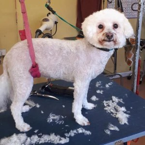 White dog on a dog grooming table