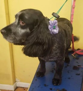Cocker Spaniel with a pink bow on a dog grooming table