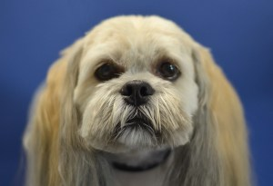 lhasa apso dog on a blue background