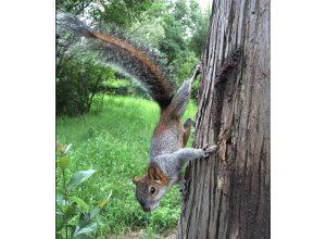 ecureuil-descend-arbre-nadir