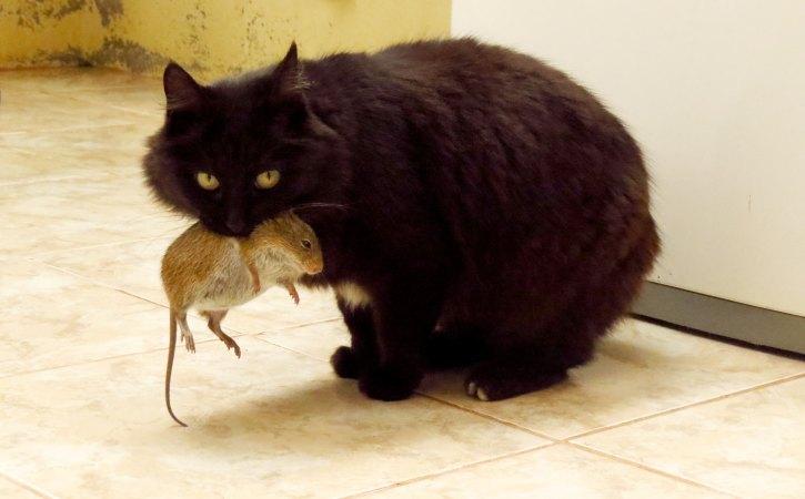 chat-souris-dans-la-bouche-paradigmatique