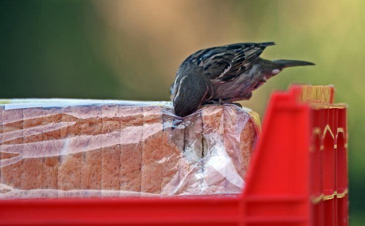 oiseau-vole-pain-toast-affurer