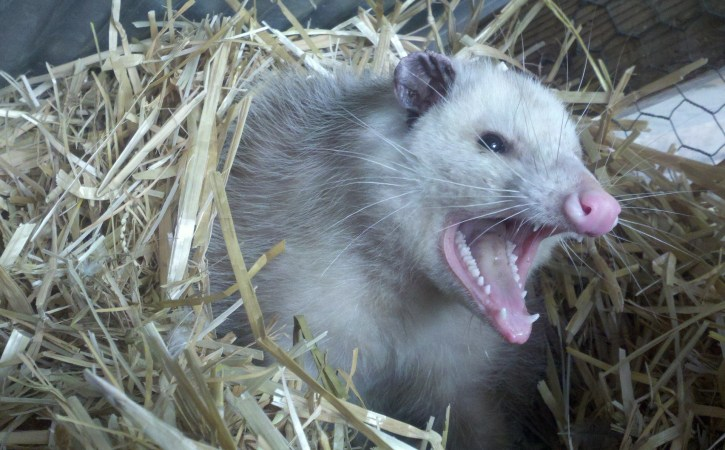 opossum-fache-querulance