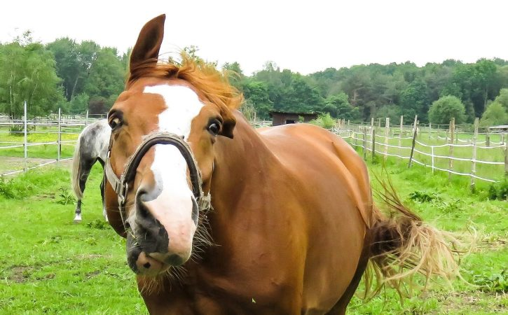 cheval-fou-grimace-rosse
