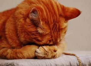 chat-cache-visage-desole-marri