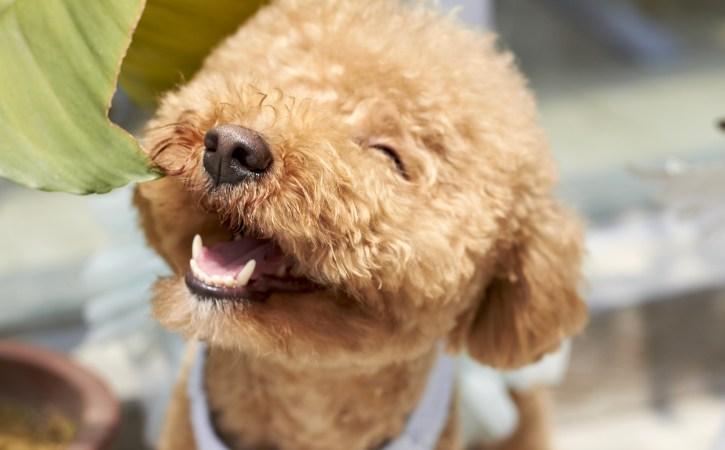 chien-rieur-gausser