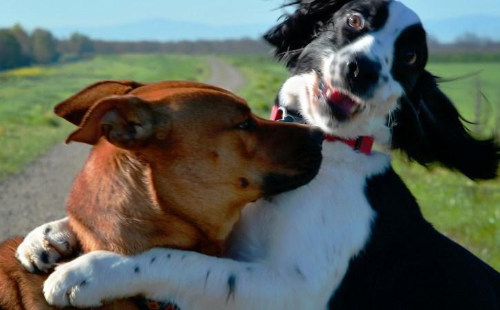chiens-joyeux-calins-foucade