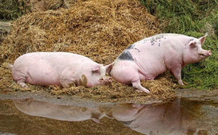 cochon-sale-incurie