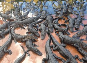 crocodiles-plethore