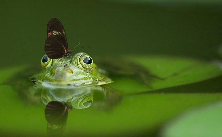 grenouille-baigne-papillon-grenouiller