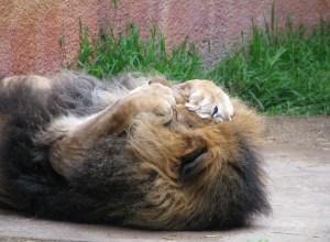 lion-cache-yeux-misanthrope