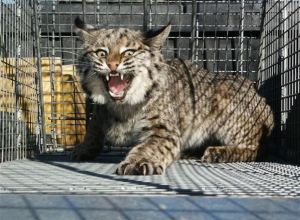 lynx-dans-cage-accule