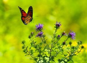 papillon-plante-alacrite