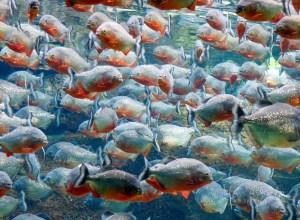 poissons-piranhas-tournent-maelstrom