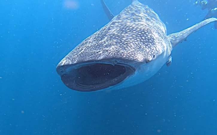 requin-baleine-bouche-ouverte-hiatus