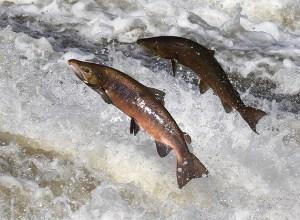 saumons-riviere-sempiternel