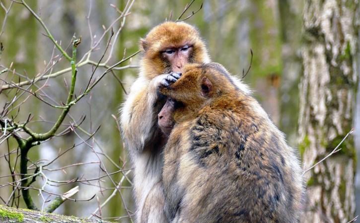 singes-epouiller-oblatif