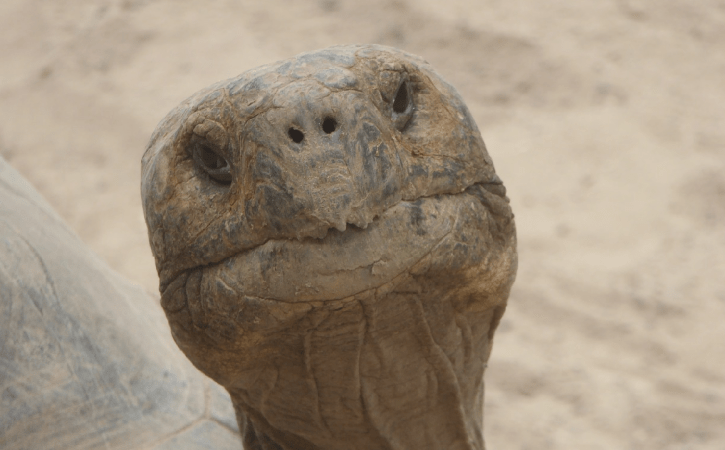 tortue-tete-seculaire
