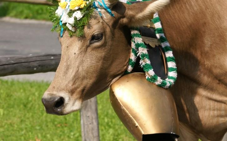 vache-grosse-cloche-tintinnabuler