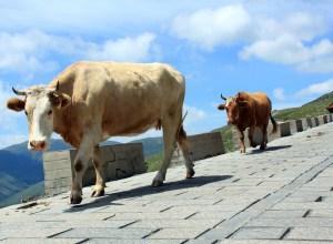 vaches-promenade-peregriner