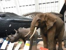 Elephant and rhinos
