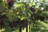 Corvina grapes in Valpolicella, Italy.